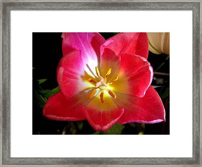 Pink Tulip Framed Print by Virginia Forbes