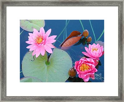 Pink Water Lilies Framed Print by Charlotte Gray