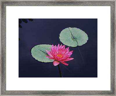 Pink Water Lily Two Pads Framed Print by Tom Wurl