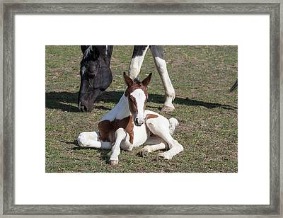 Pinto Oldenburg Warmblood Foal Framed Print by Piperanne Worcester