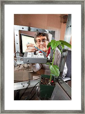 Plant Disease Transmission Research Framed Print by Stephen Ausmus/us Department Of Agriculture