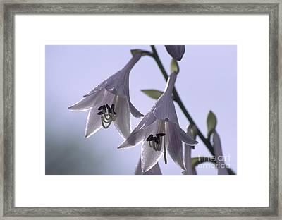 Plantain Lily Flowers Hosta Sp Framed Print by Dr. Nick Kurzenko
