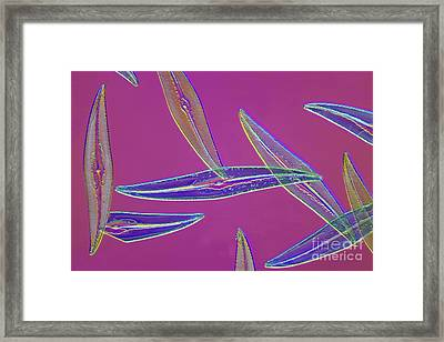 Pleurosigma Sp Diatoms, Light Micrograph Framed Print by Frank Fox