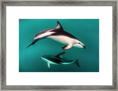 Pod Of Dusky Dolphins (lagenorhynchus Framed Print by James White