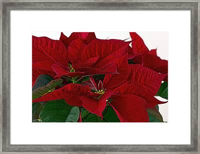 Classic Poinsettia 3 Framed Print by Sharon Talson