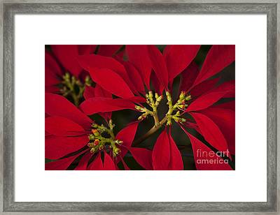 Poinsettia  - Euphorbia Pulcherrima Framed Print by Sharon Mau