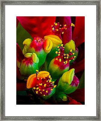 Poinsettia Flowers Framed Print