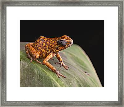 poison arrow frog Peru Framed Print by Dirk Ercken