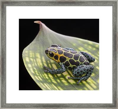 poison arrow frog Peru Rain forest Framed Print by Dirk Ercken