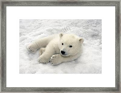 Polar Bear Cub Playing In Snow Alaska Framed Print by Mark Newman