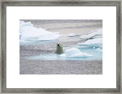 Polar Bear Framed Print by John Devries/science Photo Library