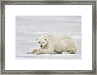 Polar Bear On Pack Ice Churchill Framed Print