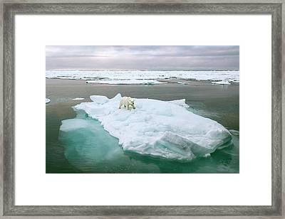 Polar Bear Standing On A Ice Floe Framed Print by Peter J. Raymond