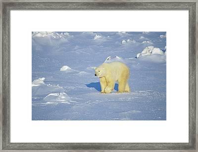 Polar Bear (ursus Maritimus Framed Print by Richard and Susan Day