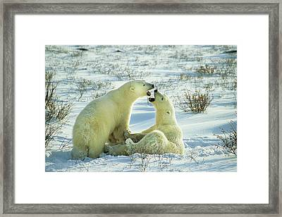 Polar Bears (ursus Maritimus Framed Print by Richard and Susan Day