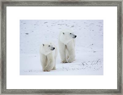 Polar Bears Ursus Maritimus Walking Framed Print by Panoramic Images