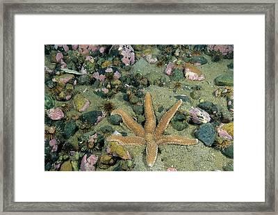 Polar Sea Star Leptasterias Polaris Framed Print by Andrew J. Martinez