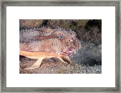 Polka Dot Batfish Framed Print by Andrew J. Martinez