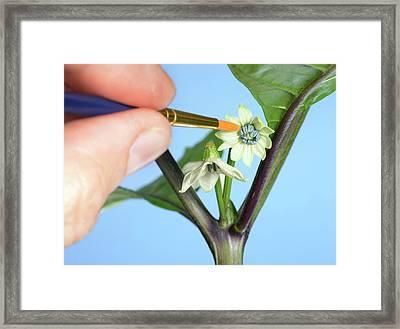 Pollination Of Carolina Reaper Chilli Framed Print