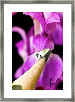 Pollination Of Orchis Mascula Framed Print