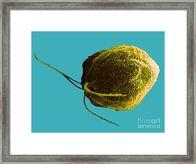 Polytomella Citri, Sem Framed Print by David M. Phillips