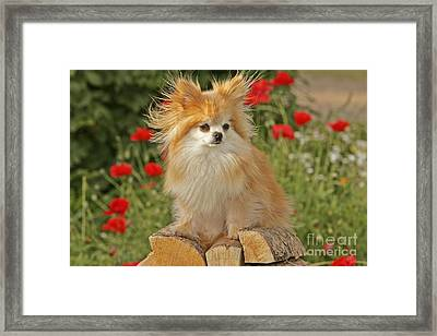 Pomeranian Dog Framed Print
