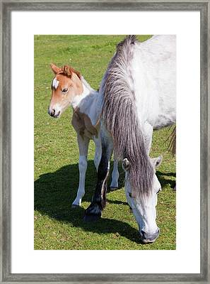 Ponies And Foal On Bodmin Moor Framed Print by Ashley Cooper