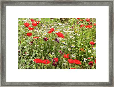 Poppies And Other Wild Flowers Framed Print