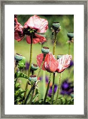 Poppies Framed Print by Bonnie Bruno
