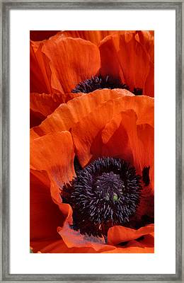Poppies Framed Print by Debra Collins