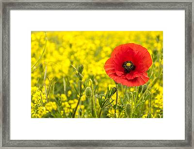 Poppy. Framed Print