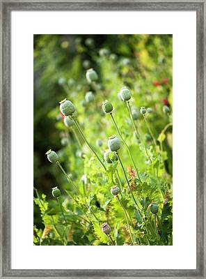 Poppy Seedheads Framed Print by Maria Mosolova
