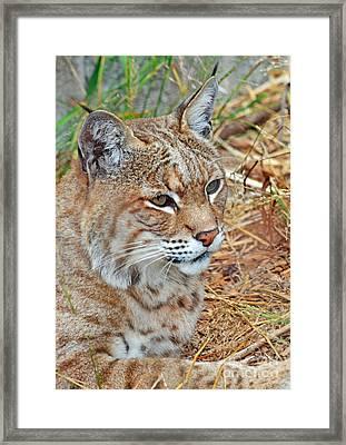 Portrait Of A Bobcat Framed Print by Jim Fitzpatrick