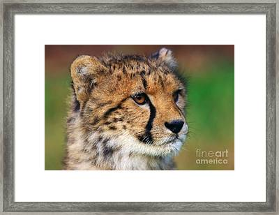 Framed Print featuring the photograph Portrait Of A Cheetah Cub by Nick  Biemans