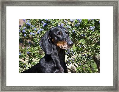 Portrait Of A Dachshund Standing Framed Print by Zandria Muench Beraldo