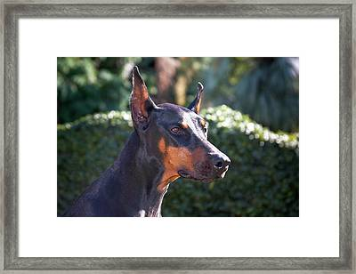 Portrait Of A Doberman Pinscher Framed Print
