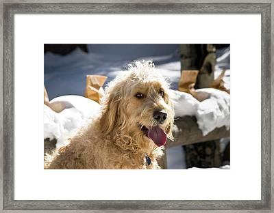 Portrait Of A Goldendoodle Sitting Framed Print