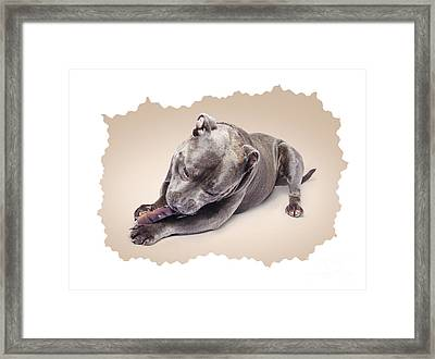 Portrait Of A Purebred Blue Staffie Framed Print