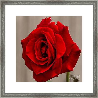 Portrait Of A Rose Framed Print by Dave Bosse
