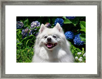 Portrait Of An American Eskimo Dog (mr Framed Print