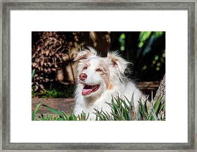 Portrait Of An Australian Shepherd Framed Print