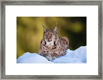 Portrait Of Eurasian Lynx (lynx Lynx Framed Print