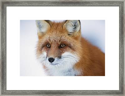 Portrait Of Red Foxchurchill Manitoba Framed Print by Robert Postma