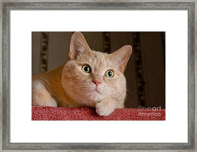 Portrait Orange Tabby Cat Framed Print by Amy Cicconi