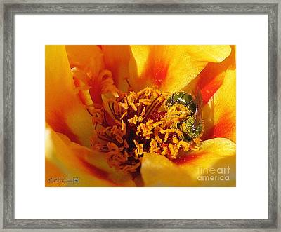 Portulaca In Orange Fading To Yellow Framed Print by J McCombie