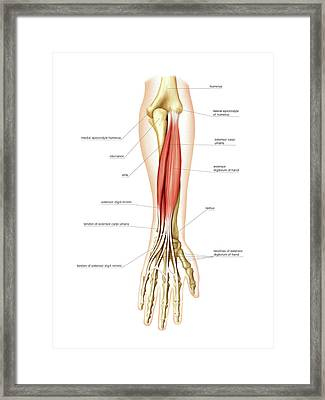 Posterior Muscles Of Forearm Framed Print by Asklepios Medical Atlas