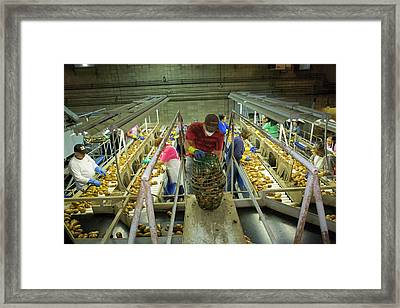 Potato Processing Plant Framed Print