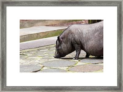 Potbelly Pig Framed Print by Pati Photography