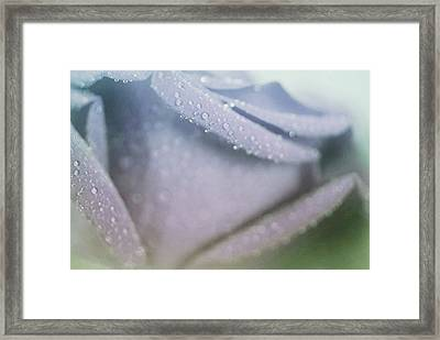 Powdery Blue Rose Framed Print