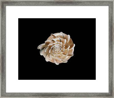 Precious Wentletrap Sea Snail Shell Framed Print by Gilles Mermet